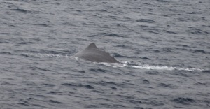 Sperm Whale Swimming