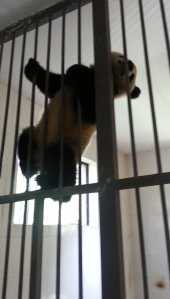 Panda just wanted to climb