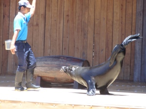 Sea lion showing off his tricks during the show!