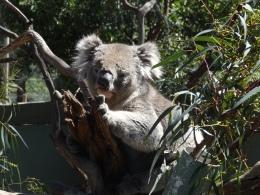 Day Trip: Kangaroos, Koalas andPenguins!