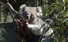 Day Trip: Kangaroos, Koalas and Penguins!